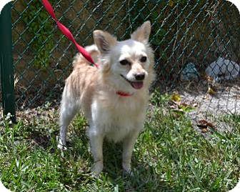 Chihuahua/Pomeranian Mix Dog for adoption in Miami, Florida - Khilo