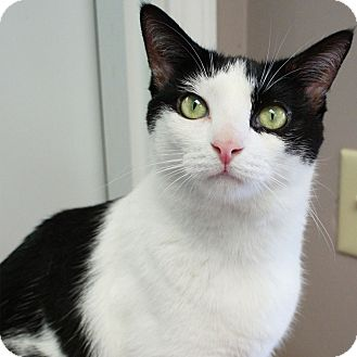 Domestic Shorthair Cat for adoption in Naperville, Illinois - Winnie