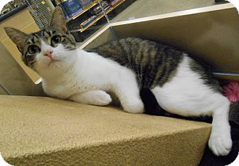 Domestic Shorthair Cat for adoption in Chattanooga, Tennessee - Sydnee