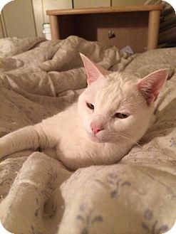 Domestic Shorthair Cat for adoption in Marietta, Georgia - Carlisle