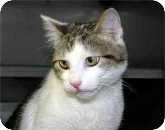 Domestic Shorthair Kitten for adoption in Winfield, Kansas - Luke