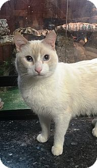 Siamese Cat for adoption in Woodside, New York - Max