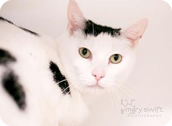 Domestic Shorthair Cat for adoption in Reisterstown, Maryland - Billy