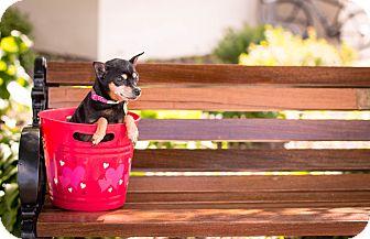 Miniature Pinscher Dog for adoption in Syracuse, New York - Phoebe