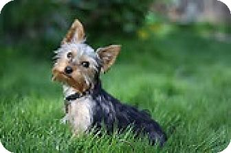 Yorkie, Yorkshire Terrier Dog for adoption in Boulder, Colorado - Cosmo-ADOPTION PENDING