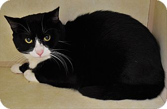 Domestic Shorthair Cat for adoption in Bucyrus, Ohio - Fred Astaire Socks