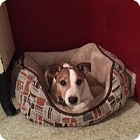 Adopt A Pet :: Harley - Richmond, VA