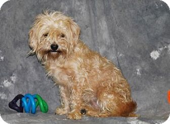 Maltese/Poodle (Miniature) Mix Puppy for adoption in Chalfont, Pennsylvania - Ruby