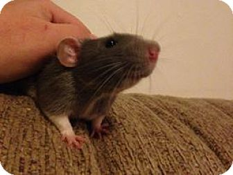 Rat for adoption in Rochester, New York - Linus
