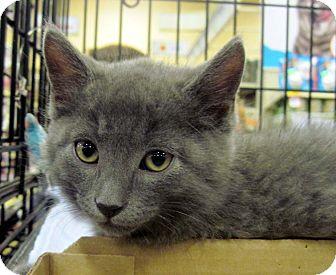 Russian Blue Kitten for adoption in Overland Park, Kansas - Buster