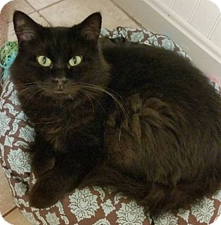 Domestic Longhair Cat for adoption in Struthers, Ohio - Brownie 2 YRS OLD