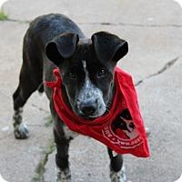 Adopt A Pet :: Bandana - Austin, TX
