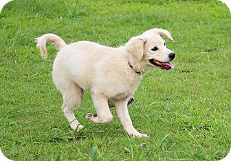 Golden Retriever/Labrador Retriever Mix Puppy for adoption in San Francisco, California - April