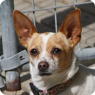 Chihuahua/Terrier (Unknown Type, Small) Mix Dog for adoption in Edmonton, Alberta - Noelle