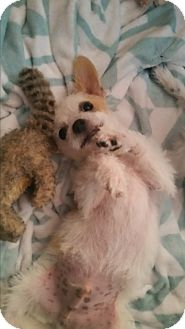 Chinese Crested/Maltese Mix Puppy for adoption in La Verne, California - Jude