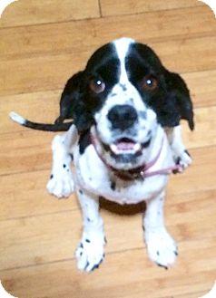 Cocker Spaniel Mix Dog for adoption in Scottsdale, Arizona - Angus