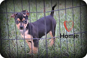 Chihuahua/Terrier (Unknown Type, Small) Mix Puppy for adoption in Chester, Connecticut - Homie
