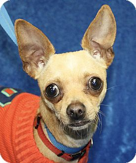 Chihuahua Dog for adoption in Jackson, Michigan - Road Runner