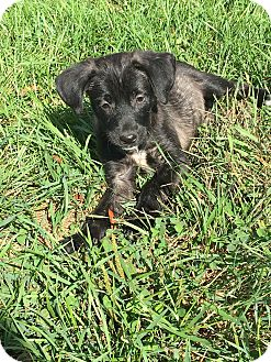 Labrador Retriever/Hound (Unknown Type) Mix Puppy for adoption in Pennigton, New Jersey - Tita