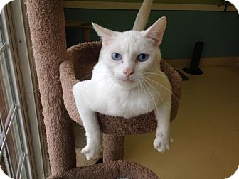 Domestic Shorthair Cat for adoption in Newburgh, Indiana - White Rain