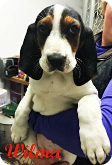 Treeing Walker Coonhound Puppy for adoption in Virginia Beach, Virginia - Wilma