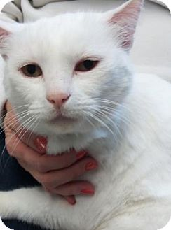 Domestic Shorthair Cat for adoption in Visalia, California - Snowflake
