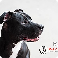 Pit Bull Terrier Mix Dog for adoption in Columbus, Ohio - Myla