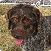 Adopt A Pet :: Curly - Omaha, NE