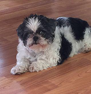 Shih Tzu Dog for adoption in Woodbine, New Jersey - Suzie