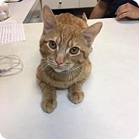 Adopt A Pet :: Gouda - University Park, IL