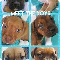 Adopt A Pet :: Puppies - Troutville, VA