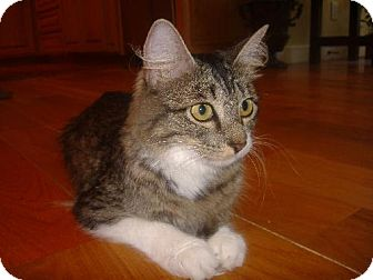 Maine Coon Cat for adoption in Guthrie, Oklahoma - Mia $25
