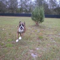 Adopt A Pet :: Dixie 0520 - Jacksonville, FL