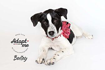 Adopt A Pet :: Bailey  - Houston, TX