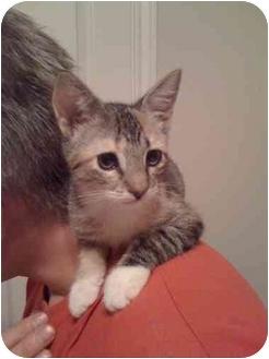 Calico Kitten for adoption in Houston, Texas - Munchkin