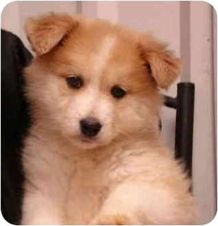 Siberian Husky Mix Puppy for adoption in Pisgah, Alabama - Vixen