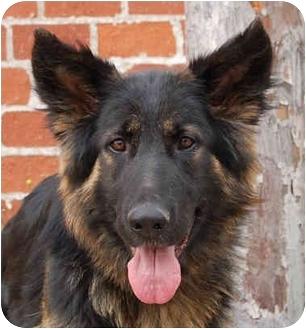 German Shepherd Dog Dog for adoption in Los Angeles, California - Malli von Barnes