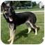 Photo 3 - German Shepherd Dog Mix Dog for adoption in Northville, Michigan - Ellie
