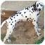 Photo 4 - Dalmatian Dog for adoption in Mandeville Canyon, California - Lola
