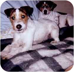 Jack Russell Terrier Dog for adoption in Smyrna, Tennessee - Zoe