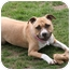 Photo 2 - American Staffordshire Terrier Mix Dog for adoption in Islip, New York - Daisy