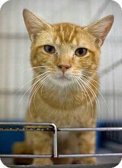 Domestic Shorthair Cat for adoption in Chesapeake, Virginia - Pete