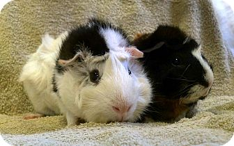 Guinea Pig for adoption in Lewisville, Texas - Dashing and Darling