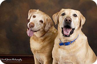 Labrador Retriever Dog for adoption in Anchorage, Alaska - Sam