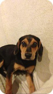 Labrador Retriever/German Shepherd Dog Mix Dog for adoption in Elgin, Illinois - SHASTA