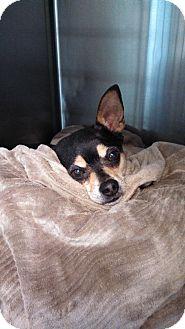 Chihuahua Mix Dog for adoption in Homewood, Alabama - Peanut