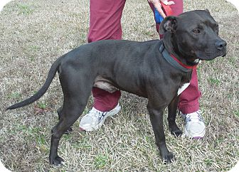 American Staffordshire Terrier Dog for adoption in Sumter, South Carolina - KENNEL #23