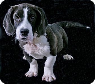 Basset Hound Mix Puppy for adoption in Lufkin, Texas - Jethro