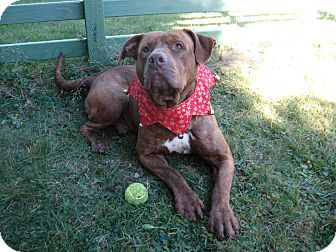 American Pit Bull Terrier/American Bulldog Mix Dog for adoption in Portland, Oregon - Manny