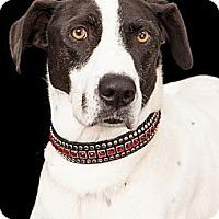 Adopt A Pet :: Murphy - Phoenix, AZ